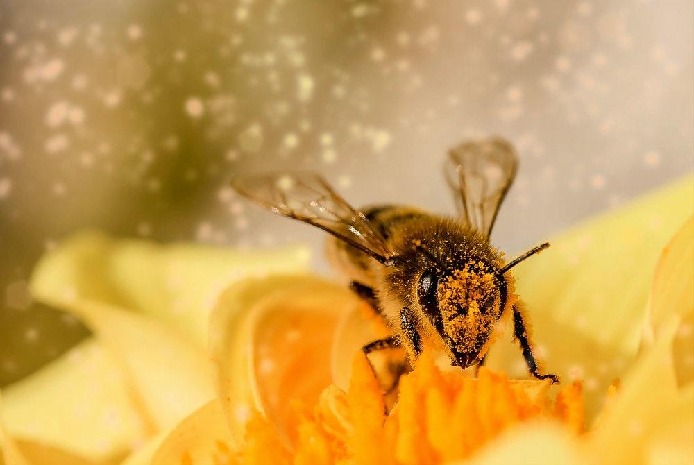 Sauvons nos abeilles françaises