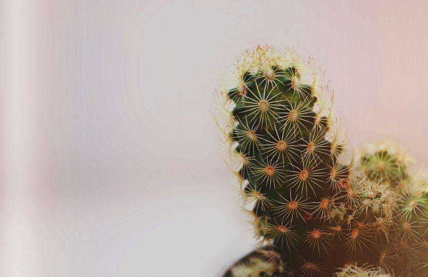 Plante Grasse Succulente à fleurs Jaunes